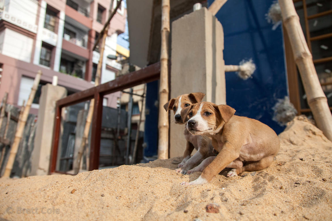 Puppies atop a sand pile at a construction site in Lake Gardens, Kolkata, India.