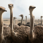 Group of Ostrich heads at close range