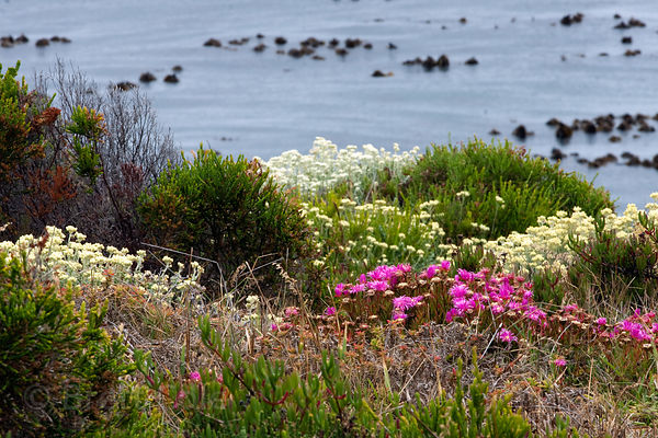 Wildflowers (sp.) in fynbos, Bordjesrif, Cape Peninsula, South Africa