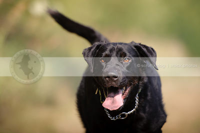 black mixed breed dog running to camera with bokeh background