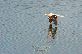 American Avocet in flight, Don Edwards Wildlife Refuge, Alviso, CA, USA