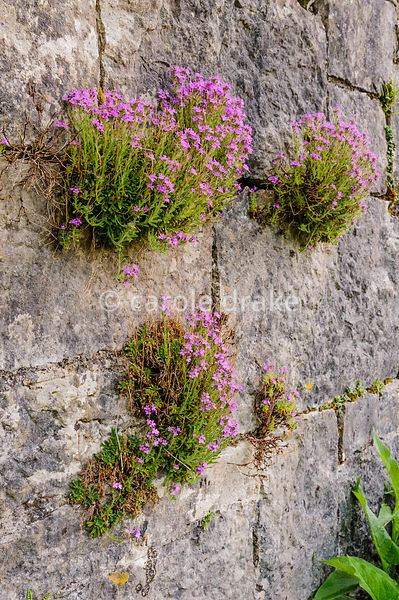 Erinus alpinus self-seeded into the bridge masonry work. Caher Bridge Garden, Fanore, Ireland