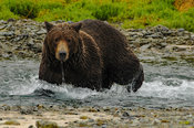 Female Grizzly wading Stream