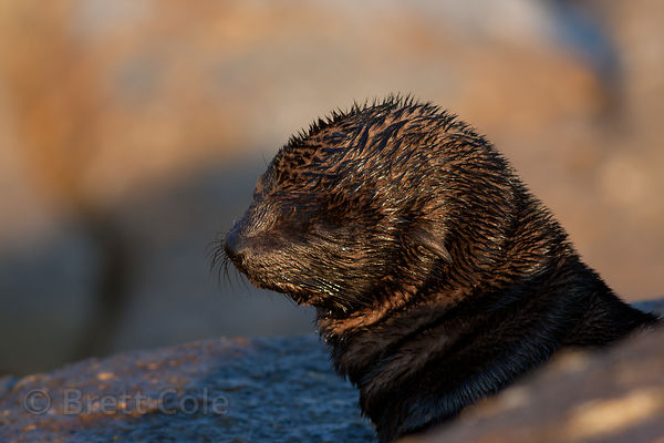 Seal pup (sp.), Miller's Point, Cape Peninsula, South Africa
