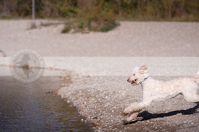 wet golden doodle dog running to water on lake shore beach