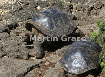 Galapagos Giant Tortoise (domed but of unknown origin) (Chelonoidis nigra aka Geochelone elephantophus), Charles Darwin Resea...