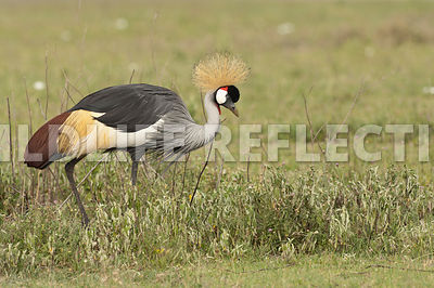 crested_crane_feeding_walk_12