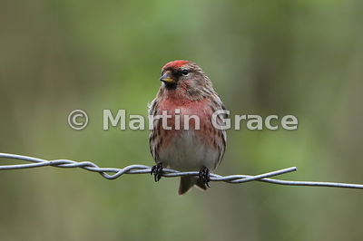 Common (Lesser) Redpoll male (Carduelis flammea) in full breeding plumage, perching on wire, Foulshaw, Cumbria, England