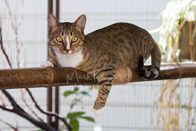 Brown Tabby Cat Resting on Bamboo Pole in Outdoor Habitat