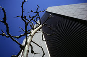 A bare tree next to an office block in Kyoto, Japan