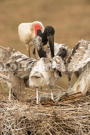 jabiru_stork_nest_close-27