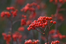 Sitka Mountain-ash (Sorbus sitchensis) berries after the autumn leaves have fallen, growing along the road up to Hart's Pass,...