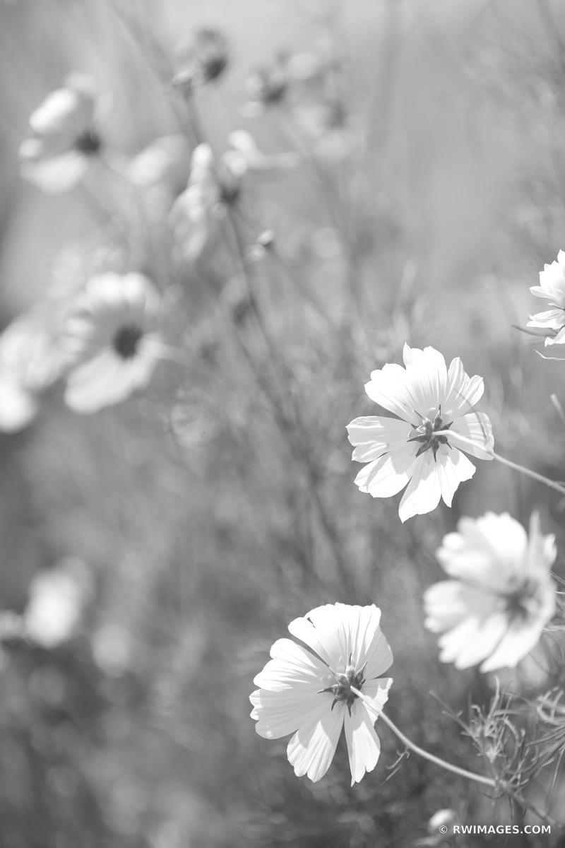 NANTUCKET ISLAND WILDFLOWERS BLACK AND WHITE