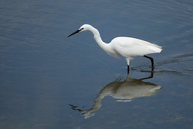 March - Little Egret