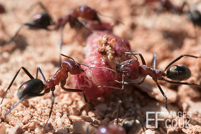 Meat Ants Killing A Grub, Cape Range National Park, Western Australia