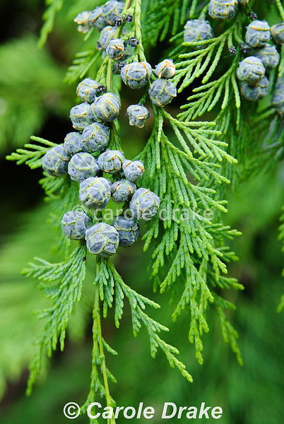Chamaecyparis lawsoniana cultivar laden with blue baubles. Sir Harold Hillier Gardens/Hampshire County Council, Romsey, Hants...