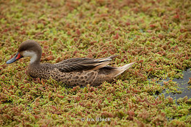 A white-cheeked pintail takes a stroll near Santa Cruz in the Galapagos.