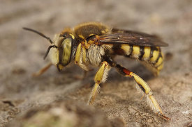 Anthidium loti, Rousson