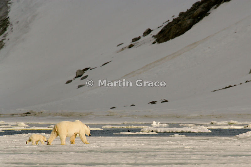 Female Polar Bear (Ursus maritimus) leading her cub along the edge of fast ice in evening sunlight