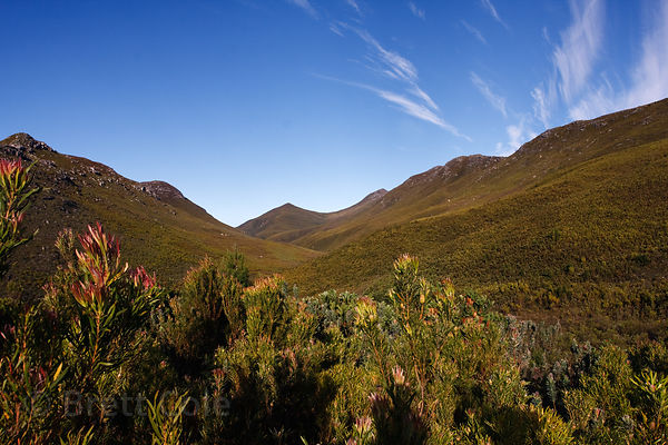 Fynbos in the wilderness of the Hidden Valley, Wildcliff Nature Reserve, South Africa