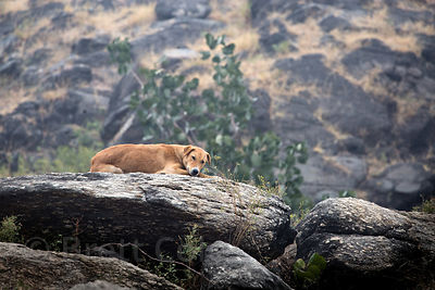 Indian Pariah stray dog in the Aravali mountains, Ajaypal, Rajasthan, India