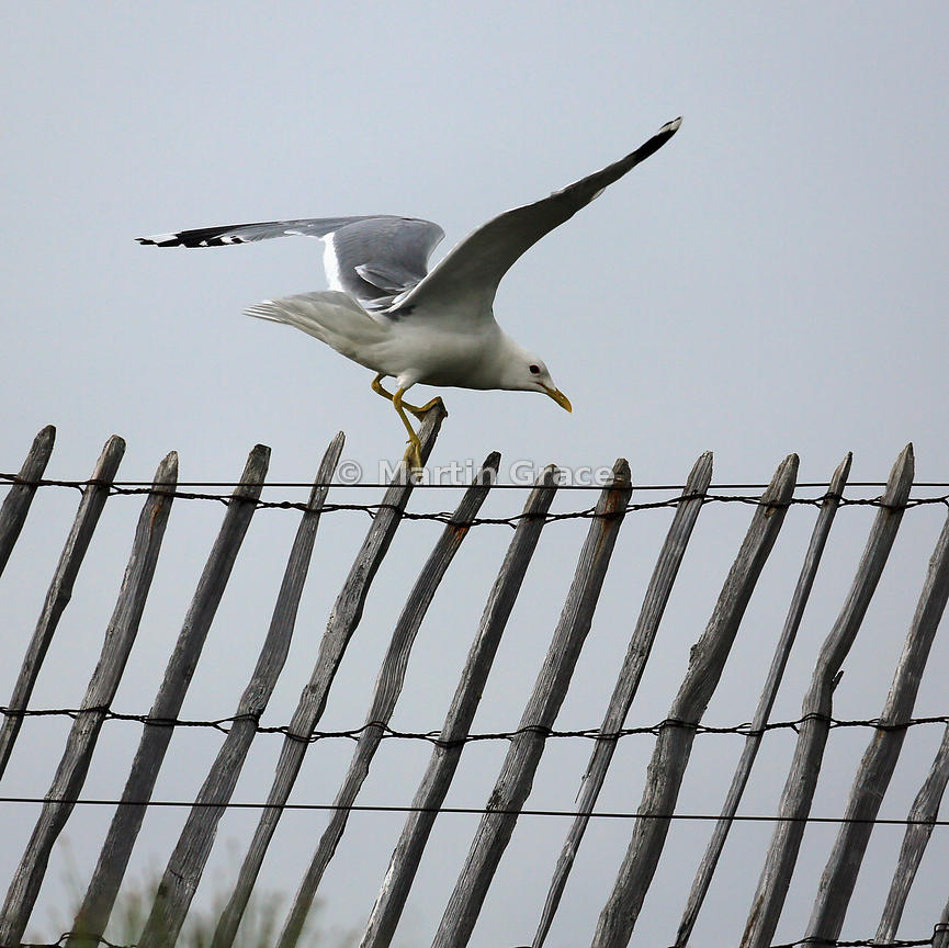 Common Gull (Mew Gull) (Larus canus), Lochindorb, Scottish Highlands