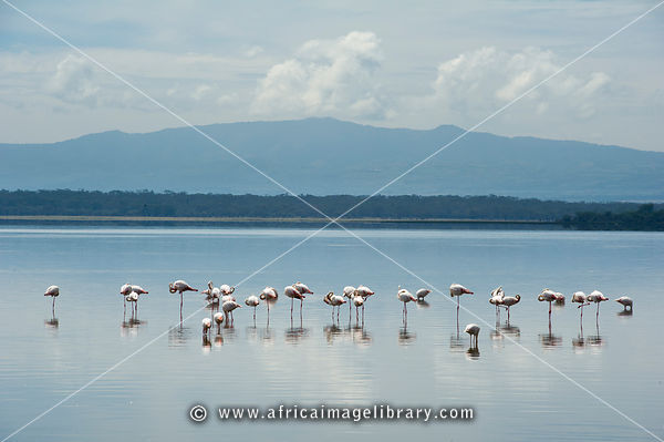 Greater flamingos, Phoenicopterus roseus, Lake Nakuru National Park, Kenya