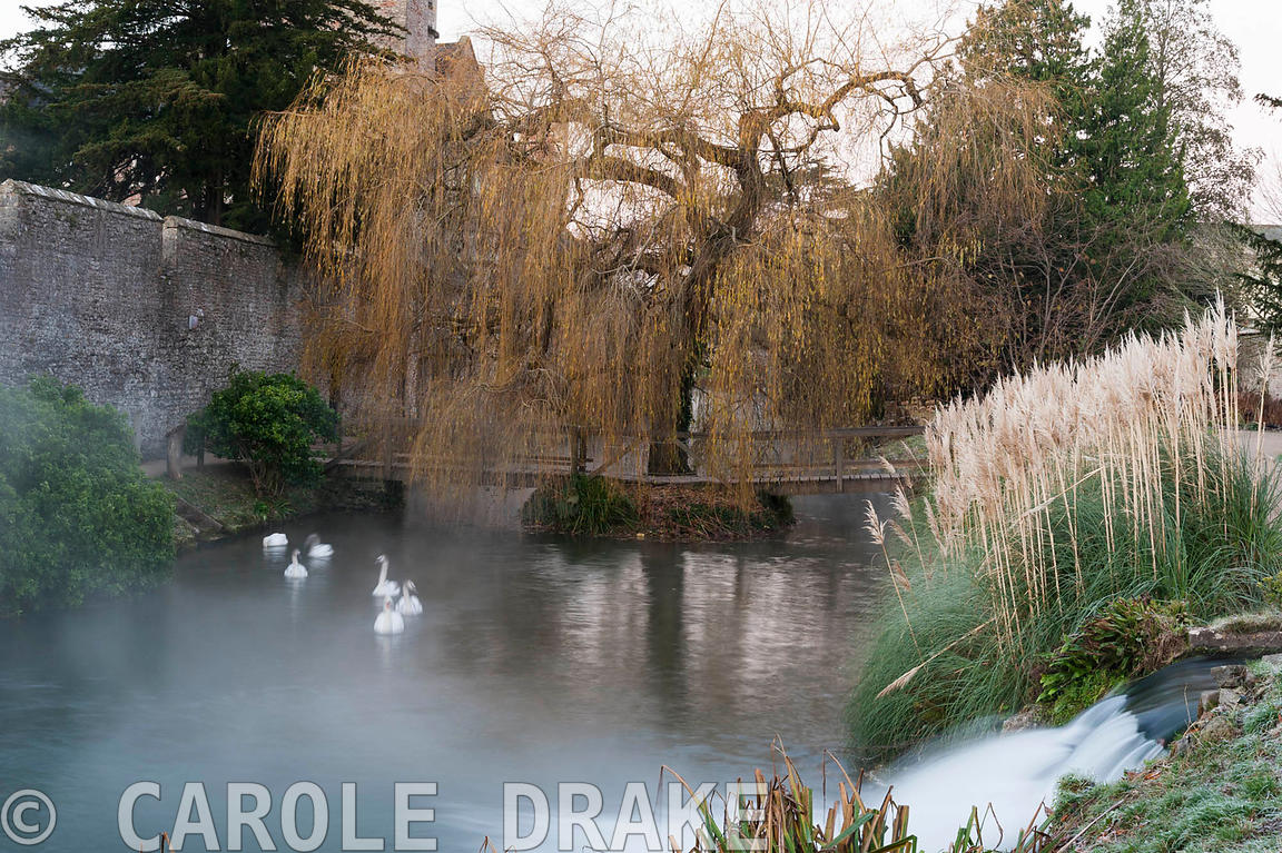 Swans swim in the moat of the Bishop's Palace in Wells in November framed by a weeping willow and a clump of pampas grass