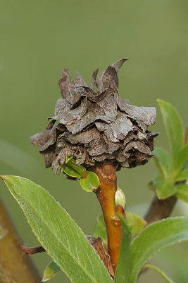 Gal of Andricus foecundatrix on Salix alba
