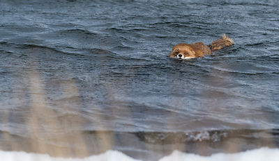 Red Fox (Vulpes vulpes) swiming in sea, southwest Finland, February.