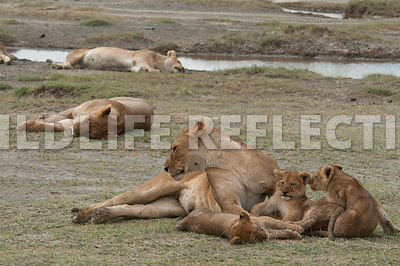 lion_family_sleeping_with_the_pride_8