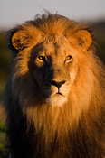 Male lion (panthera leo) portrait, Namibia
