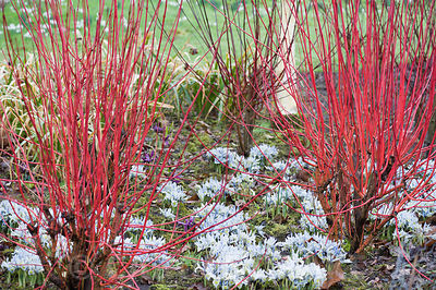 Scarlet stems of cornus underplanted with Iris 'Katharine Hodgkin' in the Winter Garden at Dunham Massey, Altrincham, Cheshir...