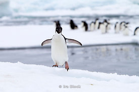 An adelie penguin found on glacier around the Antarctic Peninsula.