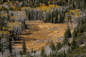 Trembling Aspen Forest in Great Basin National Park
