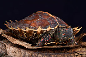 Spiny turtle (Heosemys spinosa)