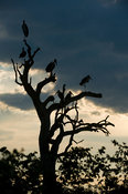 Marabou stork, Leptoptilos crumeniferus, Kruger National Park, South Africa