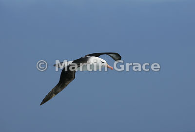 Black-Browed Albatross (Thalassarche (melanophrys) melanophrys) in flight, Southern Ocean near South Georgia