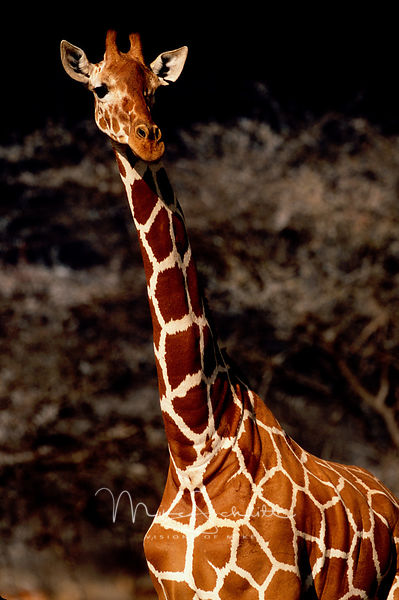 Africa_Articulated_Giraffe_close_up