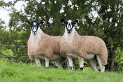North of England mule gimmer lambs in pasture before being sold at breeding sales. Cumbria, UK.