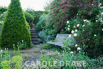Terrace with bench features clipped bay, self seeded wall daisy, Erigeron karvinskianus, and Centranthus ruber 'Albus'.  Priv...