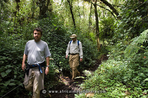 Rwanda, Parc National des Volcans, Volcanos National Park, gorilla tracking