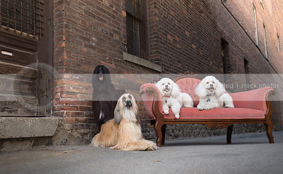 four dogs with antique settee at brick wall in urban alley