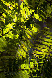 Large backlit ferns in primary forest, Las Nubes, Costa Rica