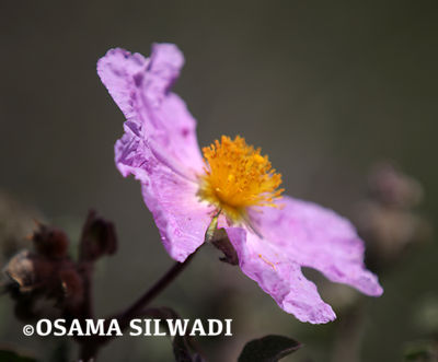 The Wildflowers of Palestine - Cistus Creticus
