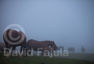 Herd of horses (Equus caballus) grazing in the mist