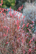 Scarlet berberis leaves.