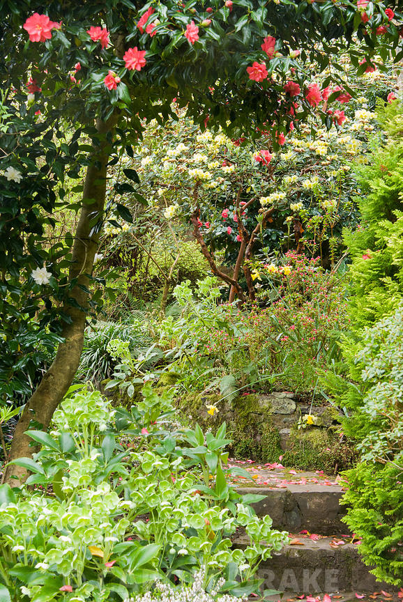 Steps lead up the terraced slope beside the house through a rich medley of flowering shrubs and herbaceous perennials includi...