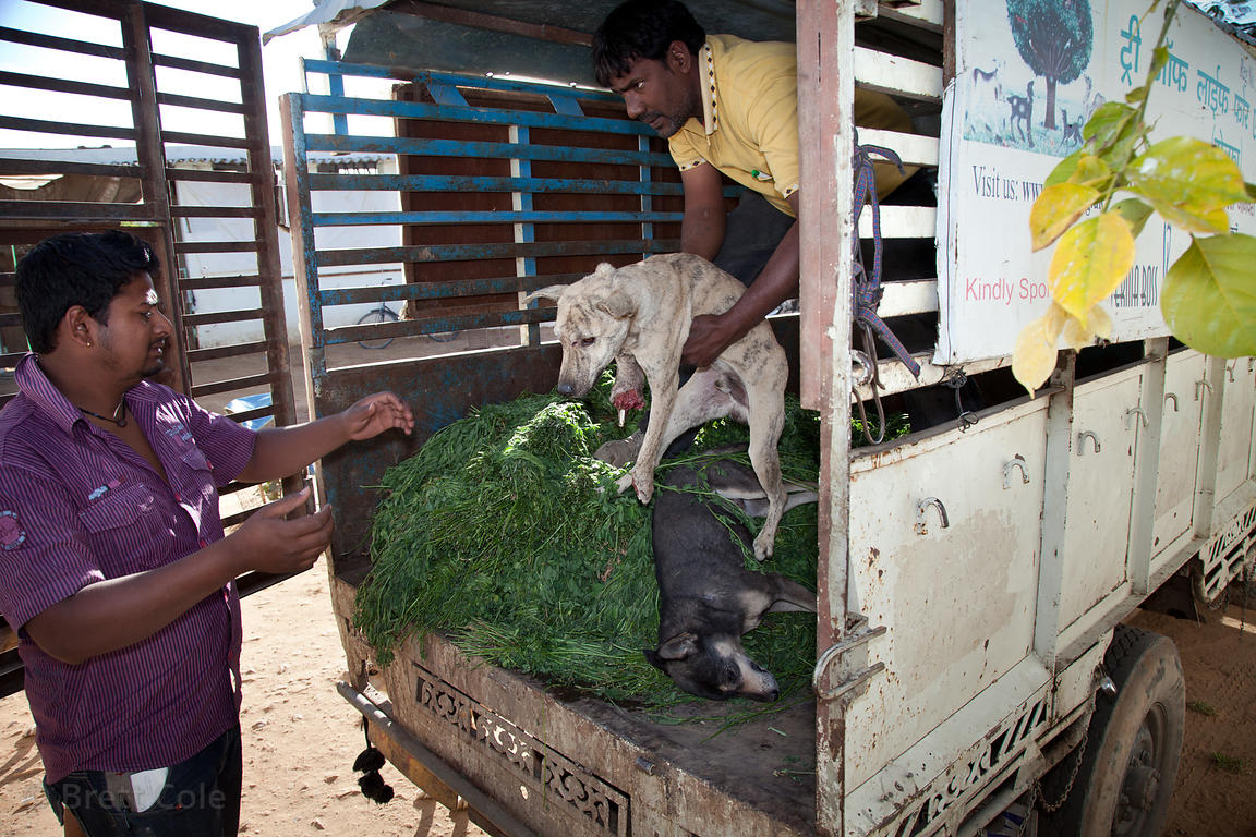 Staff at the Tree of Life for Animals rescue center in Pushkar, India receive a dog from nearby Ajmer that was hit by a train...