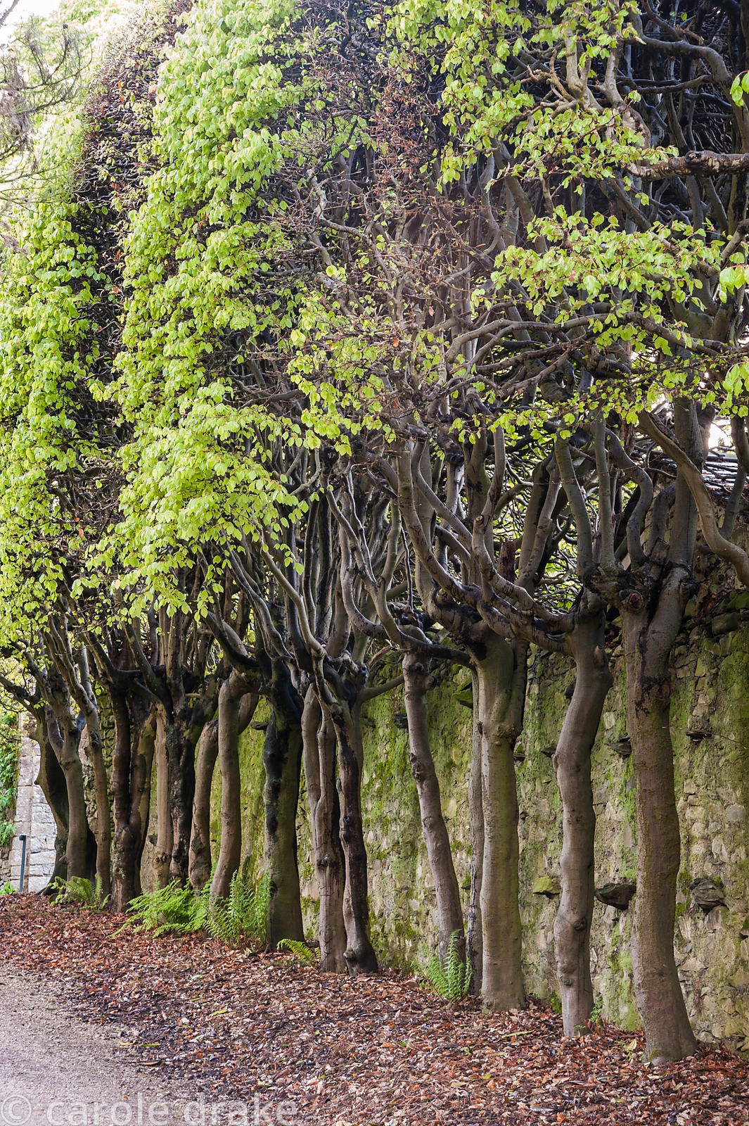 Beech trees trained into an elevated hedge. Holker Hall, Grange over Sands, Cumbria, UK